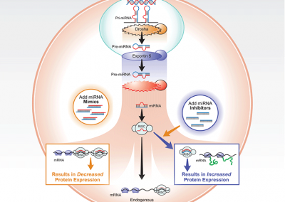 Infographic: microRNA targeting